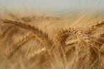 o-joio-e-o-trigo-sera-que-voce-entendeu-direito